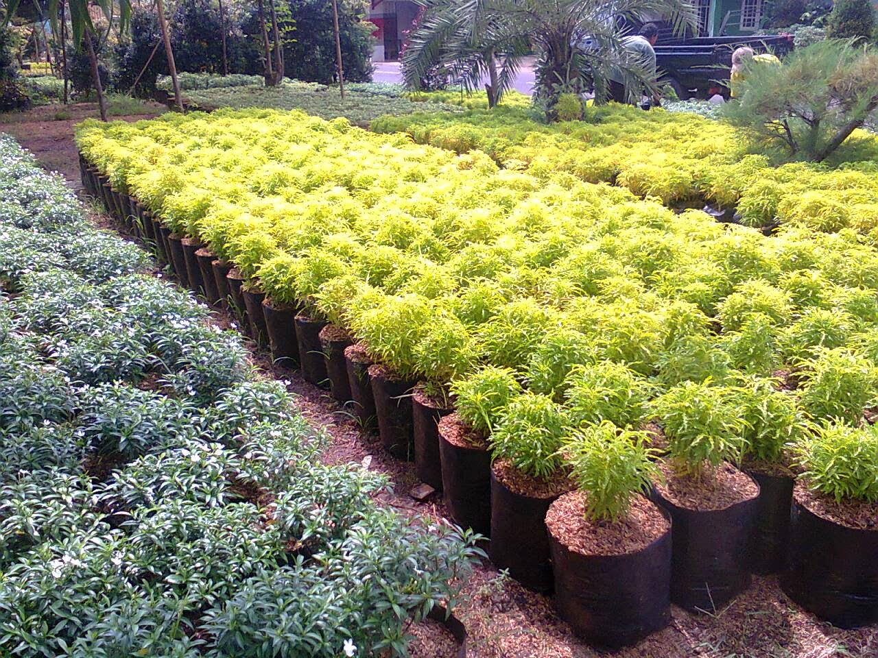 Solo | Jual Aneka Bibit Pohon dan Tanaman Hias