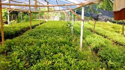 Jual Tanaman Lavender Di Jakarta