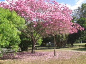jual pohon tabebuya