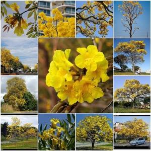 jual pohon tabebuya Banjarmasin