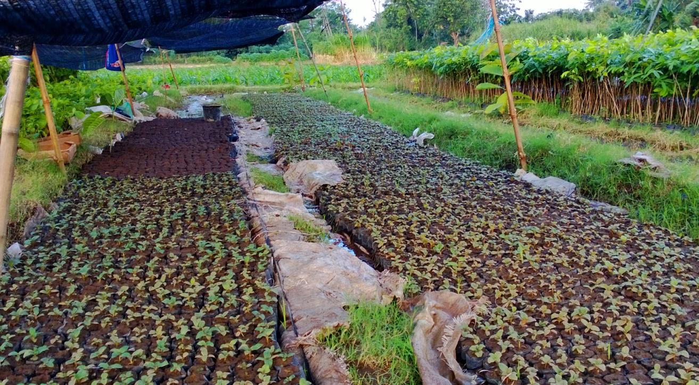 Jabon Jual Aneka Bibit Pohon Dan Tanaman Hias Biji Rumput Binjai