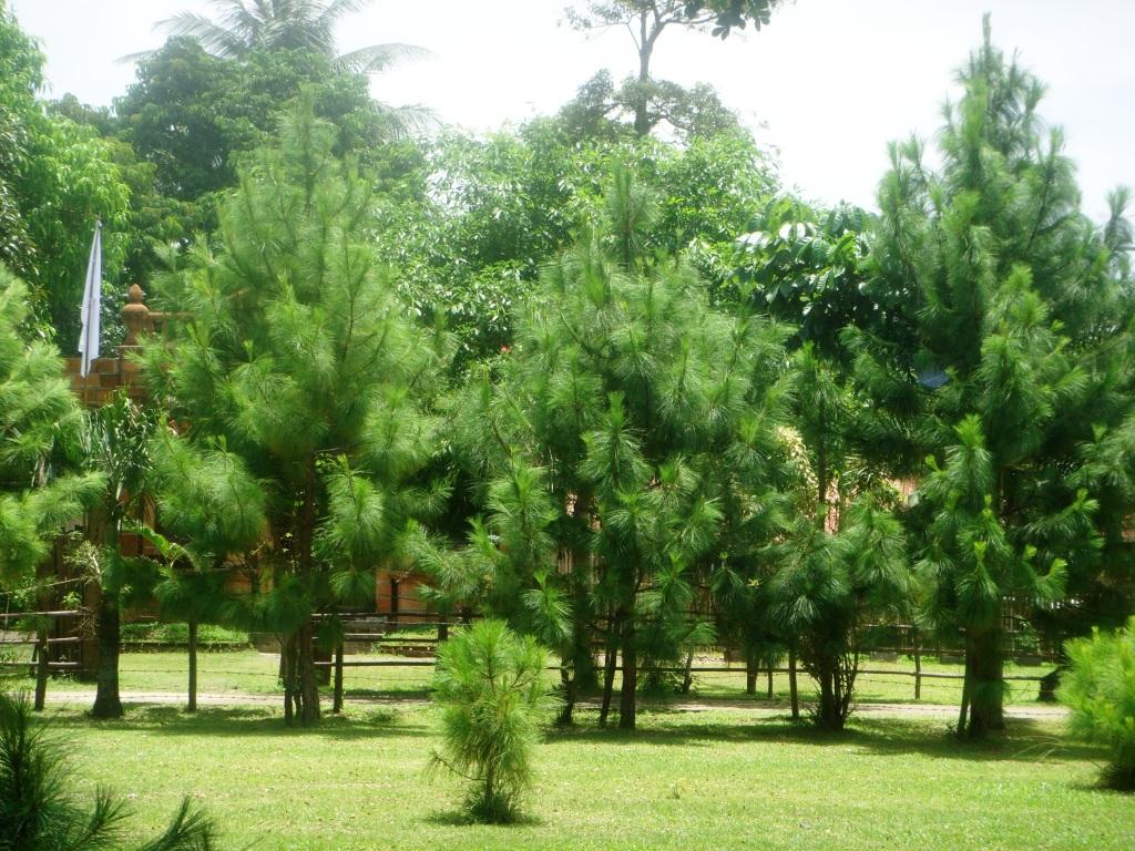 Pohon Cemara Udang Jual Aneka Bibit Pohon Dan Tanaman Hias